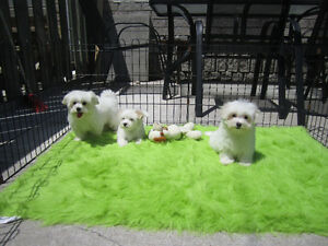 tiny toy maltese pups