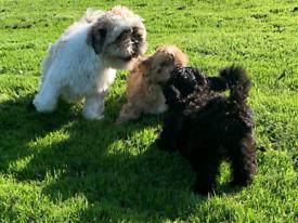 Rare shih poo puppys