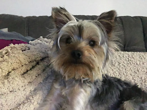 Male Yorkie, vaccined, with cage, bed, static collar (everything
