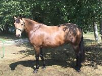Buckskin 16 year old Gelding FOR BEGINNERS