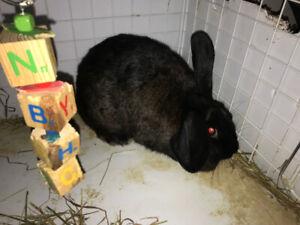 female flemish rabbit FREE