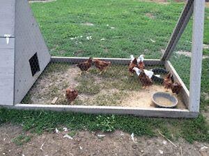 Rare purebred Buckeye chicks