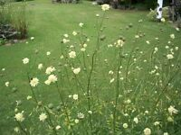 """Seeds - """"Bee Magnet"""" Scabiosa & more"""