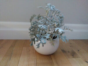 Dusty Miller in cute ceramic pot