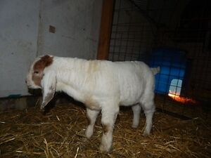 Commercial Boer Bucklings for sale