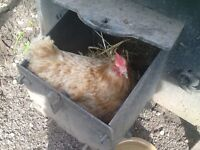 Chicken - free to good home