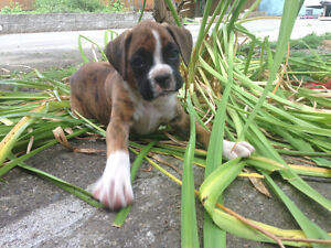 Boxer puppies One male left