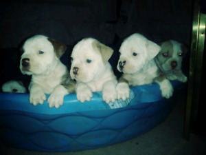 Alapaha blue blood puppies