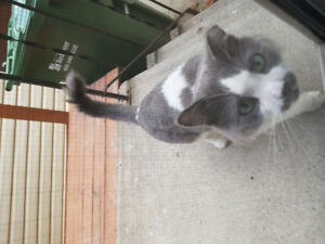 Found grey&white cat wandering area
