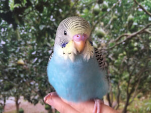 HAND RAISED TAME BABY BUDGIES