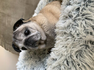 Pet sitter occasionally needed for a senior pug