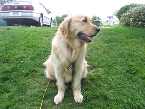 Looking to contact owner of Golden retriever please