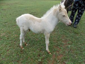AMHR - MINI CREMELLO PINTO COLT FOR SALE - NEAR AMHERST