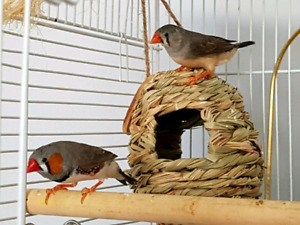 Zebra Finch For Sale {by the pair only}