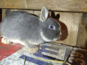 Rabbits for sale. 1 netherland dwarf and others are mixed