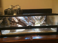 2 Medium Sized Bearded Dragons With Tank