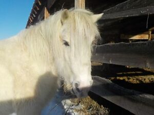 11 Hand Welsh Pony-Price Reduced!