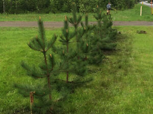 Red Pine Trees---4 to 6 feet Tall