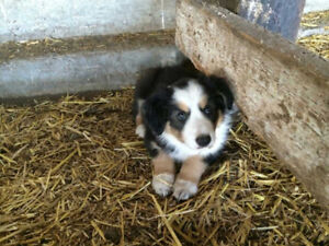 1 male boarder collie pup