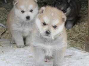 Pomsky/Husky puppies!!! Blue eyes!!!