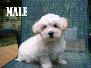 Toy Size Maltipoo Puppies m/f's