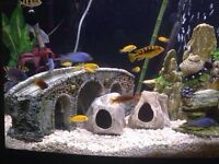 African cichlid 46 gallon bow front