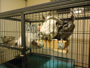 Rehoming two adorable chinchillas