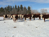 2 Year Old Purebred Horned Hereford Bulls for Sale