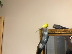 2 budgies and large vision cage for sale