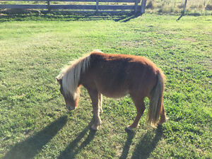 2 year old stud mini horse for sale
