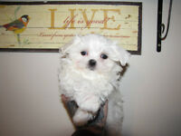 CKC Registered Pure Breed Maltese