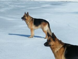 World Class German Shepherds, puppies and adults.