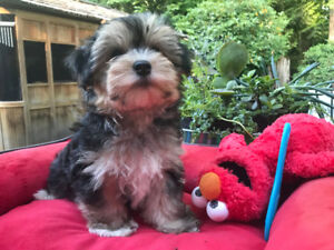 MALTESE AND MORKIE PUPS  1800 TO 2300
