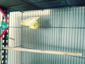 Breeding pair of parrotlets for sale