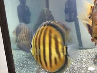 Brazil Wild discus for sale !!!