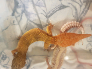 Leopard geckos from Santa?