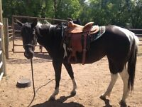2012 APHA black tobiano mare for sale