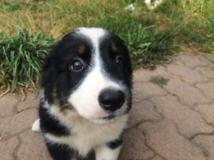 Cute Border collie x australian shepherd Female puppy