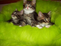 Adorable Male Maine Coon Tabby Kittens
