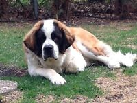 Looking for a home for pure breed St Bernard