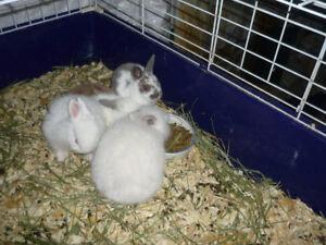 Bébés lapins mini-rex et angora anglais croisés a vendre...2 rés