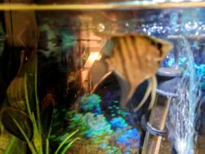 Zebra angel fish