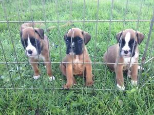 Champion Sired 100% european Boxer puppies (updated)
