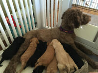 Australian Multigenerational Labradoodles for Sale