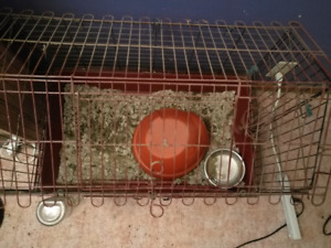 Guinea pigs, with cages