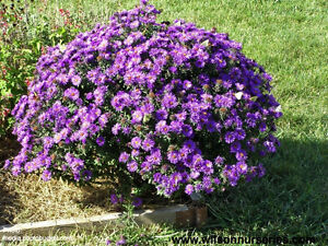 "Perennial Aster ""Purple Dome"""