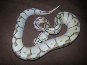 100%het Orange Ghost Ball Python combos