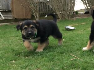 Puppies for sale **NEW PICTURES**