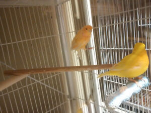 pair of canaries with cage. yellow colors.