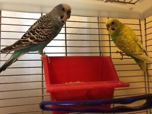 Two beautiful budgies looking for a new home